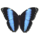 Morpho Achilles icon