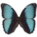 Morpho Pseudogamedes icon