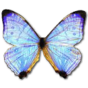 Morpho Sulkowski Pearl Morpho icon