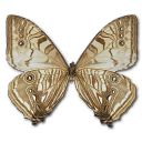 Morpho Sulkowski Underside icon