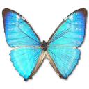 Morpho Zephyritis Male icon