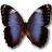 Morpho Achilleana icon
