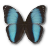 Morpho Patroclus Orestes Male icon