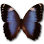 Morpho-Achilleana icon