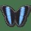 Morpho Achilles icon
