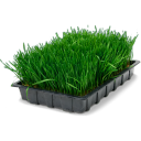 Wheatgrass-tray icon