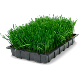 Wheatgrass tray icon