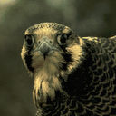 peregrine icon