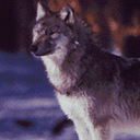 wolf 1 icon
