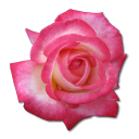 Rose-Tea icon