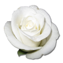 Rose White 1 icon