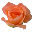 Rose-peach-2 icon