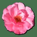 Wild Rose Pink 1 icon