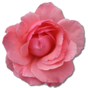 Wild Rose Pink 2 icon