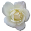 Rose-White-2 icon