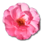 Wild Rose Pink 1 icon