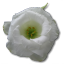 Wild-Rose-White-1 icon