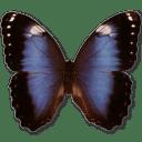 Morpho Achilleana icon