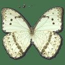 Morpho Catenarius Underside icon