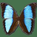 Morpho Deidamia Neoptolomous icon