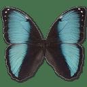 Morpho Pseudogamedes icon