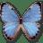 Morpho-Partis-Thamyris icon