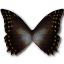 Morpho-Amphitrion icon