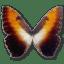 Morpho-Hecuba-sunset icon