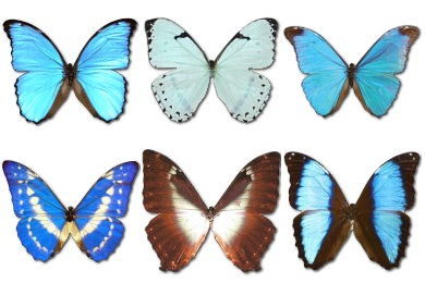Morpho Butterfly Icons
