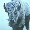 Bison icon