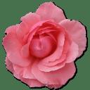 Wild Rose Pink 2 icon