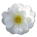 Wild Rose White 2 icon