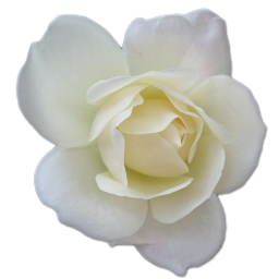 Rose White 2 icon