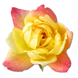 Rose Yellow 2 icon