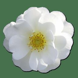 Wild Rose White 2 icon