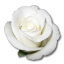 Rose White 1 icon